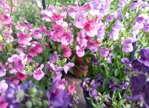 Nemesia brings a burst of colour to the patio. Copyright J Bayliss 2015